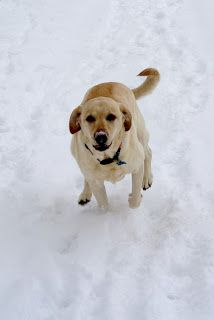 Bella racing in the snow - yellow lab style