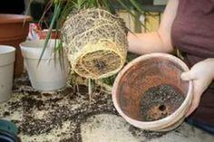 """Aceste legume nu pot trăi una fără alta, trebuie să fie neapărat alături! Această """"vecinătate"""" va aduce o mulțime de beneficii... - Fasingur Garden, Jardin, Plants, Herbs, How To Dry Basil, Planter Pots"""