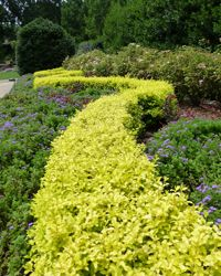 Sunshine Ligustrum Shrubs Southern Living Plant Collection Zone 6 Hardy