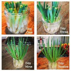 Fun Spring Garden Projects For Indoor Gardening Family Food Garden Growing Spring Onions, Green Onions Growing, Growing Greens, Growing Herbs, Planting Green Onions, Regrow Vegetables, Growing Vegetables, Veggies, Regrow Green Onions