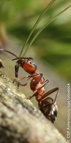 An ant carries foliage in its mouth