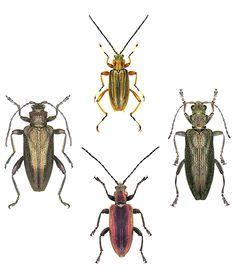Donaciiinae: Macroplea, Donacia, Plateumaris, Donaciella