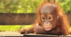 The <b>Borneo</b> <b>Orangutan</b> Survival Foundation