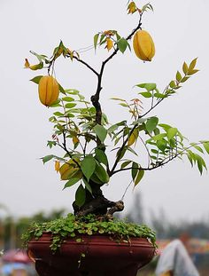 bonsai árvore de frutas - Pesquisa Google