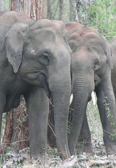 Elephants at Nagarhole | We need to give them back their future. When you like, follow or share IvoryForElephants... on FB, Twitter, Instagram we gain media $$$