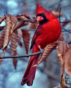 ᏩσяɠєσนᎦ βįʀɖᏕ (Northern Cardinal (Cardinalis cardinalis) by Bill Garber) Cute Birds, Pretty Birds, Beautiful Birds, Animals Beautiful, Cute Animals, Exotic Birds, Colorful Birds, Northern Cardinal, Cardinal Birds