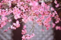 Got a spring in your step? Enjoy all the cherry blossom Korea has to offer! #korean #travel #instagram