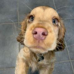 Meet Winnie, The Cocker Spaniel With 'Puppy Eyes' Becomes An Internet Sensation Cute Little Puppies, Cute Dogs And Puppies, Cute Little Animals, Baby Dogs, Cute Funny Animals, Doggies, Baby Animals Pictures, Cute Animal Pictures, Fluffy Animals