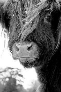 Scottish Highland calf.