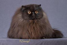 black himalayan cat - Google Search