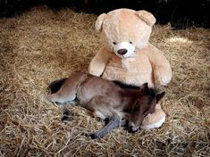 Breeze — who was abandoned just hours after birth — snuggles up with a teddy bear at the Mare and Foal Sanctuary in Newton Abbot.