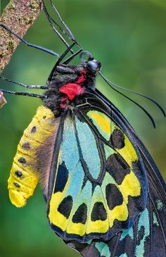 an adult, male Cairns Birdwing (Ornithoptera euphorion). Taken in Northern Queensland rainforest by Kaisa and Stanley Breeden via Australia Geographic