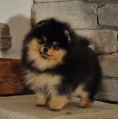 German Spitz / Kleinspitz Puppy Dog