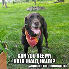 Chuckie the Chocolate Lab Funny Dog Memes, Funny Dogs, Funny Animals, Cute Animals, Animal Funnies, Beyonce Funny, Animal Magic, Animal Pictures, Fur Babies