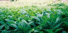 Comfrey- AMAZING stuff. animal feed- high in protein and nutrients. chickens, goats, rabbits, earthworms, quail, turkeys, ducks, pigs, cows, etc. human food, nutrients, medicinal. a must have in huge quantities!