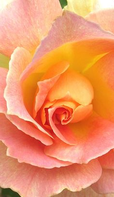 'Joseph's Coat' rose in orange and peach and pink
