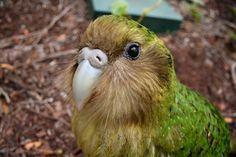 Kakapo, endangered Native bird of New Zealand