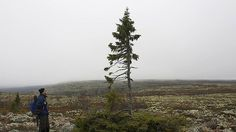 The Great Old Spruce of Sweden still stands after 9550 years