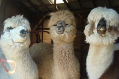 Llamas, just because.