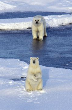 Polar Bears On Snowy Landscape