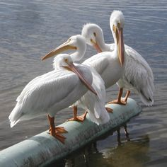 Great white pelicans (c) 2012