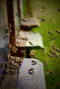 ≗ The Bee's Reverie ≗ bees arriving home from work  :-)