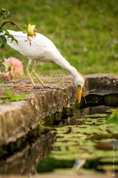 Primera de «bubulcus ibis» [garcilla bueyera]
