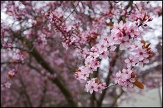 love cherry blossom season in van :)