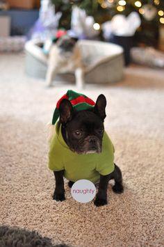 naughty french bulldog