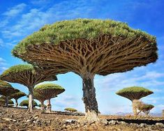 Dracaena cinnabari, the Socotra dragon tree or dragon blood tree, is a dragon tree native to the Socotra archipelago, part of Yemen, located in the Arabian Sea. It is so called due to the red sap that the trees produce. Dragon Blood Tree, Dragon Tree, Dracaena Cinnabari, Bonsai, Dame Nature, Unique Trees, Unique Plants, Nature Tree, Amazing Nature