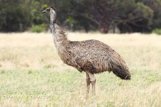 Emu - Wikipedia, the free encyclopedia. The emu is the largest bird native to Australia.
