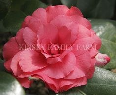 'Rose Dawn' Camellia japonica. Deep pink rose color, formal flowers. Kinsey Family Farm Gainesville, GA.