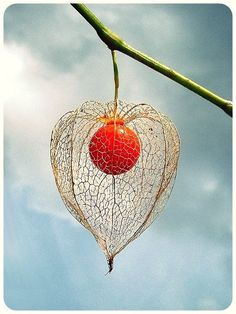 Fruit of Physalis alkekengi var. franchetii , the Chinese lantern plant. In species of Physalis , the persistent calyx that is characteris. Unusual Flowers, Unusual Plants, Beautiful Flowers, My Flower, Flower Power, Chinese Lanterns Plant, Deco Floral, Seed Pods, Tropical Plants