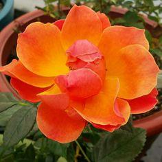 Livin Easy Rose Plant Orange Floribunda Rose Grown Organic 2.6 Quart  Container Living Easy   Own Root Non GMO