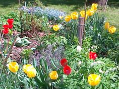 Jarní tulipánová záplava, poměnky, Velikonoce za rohem. #garden #tulip #flower #forgotmenot #spring www.mp27.eu
