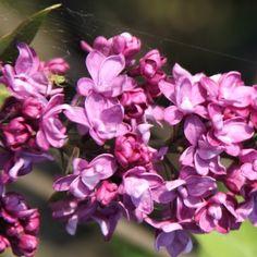 Flieder Syringa vulgaris 'Charles Joly' - Purpurrote Flieder - Flieder-Premium Fliedertraum