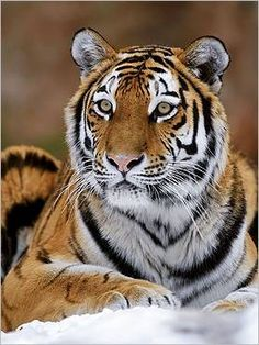 Stunning Tiger Portrait