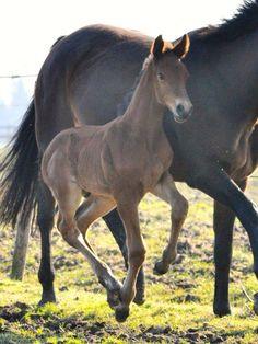 First foal at Keystud 2015! Colt, F-One Key SR Colt, braun,holsteiner.jumpinghorse.hengst.springpaard.bruin.hengstveulen.