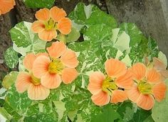 NASTURTIUM: Easy to sow from seed, it's a perfect partner to radish, cabbage, collard greens, cauliflower, kale, kohlrabi, broccoli, tomatoes, and cucumber. It's known for deterring whiteflies, cucumber beetles and squash bugs.
