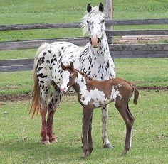 Lovely Black Leopard Appaloosa Mare and Her Cool Chestnut Paint Foal. Foal More Likely Takes After His Sire, a Paint Stallion.