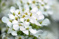 """Vaizdo rezultatas pagal užklausą """"flores blancas pequeñas"""""""