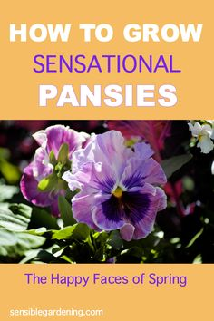 Everything you need to know to grow glorious pansies. One of the first flowers to bloom in spring and one of the most colourful. The perfect early plant for garden beds and containers.