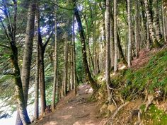 Old forest and nationalpark In Biogradska Gora, Montenegro Montenegro, Plants, National Forest, Plant, Planets