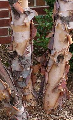 River birch: full sun to part shade, USDA Zones 4–9, grown for its gorgeous exfoliating bark, native to eastern US.