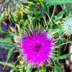 https://flic.kr/p/vx9tLA | Scotch Thistle - pretty :) #upsticksandgo #scotchthistle #purple #flowers #naturephoto #michfrost #unitedkingdom #exploring #lakesdistrict #lakewindermere