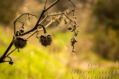Nature Photography Dying Twigs  13x19 Inch by BurrCampCreations, $35.00