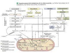 Fascinada con Metabolismo basal 10 La explicación Por qué es hora de parar
