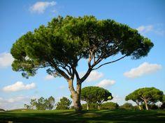 Pinheiro-manso (Pinus pinea) / \ Umbrella Pine photo - Valter ...