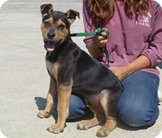 Lathrop, CA - German Shepherd Dog/Pit Bull Terrier Mix. Meet Jericho, a puppy for adoption. http://www.adoptapet.com/pet/12815476-lathrop-california-german-shepherd-dog-mix