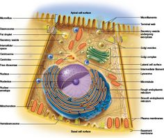 Cell Transport Concept Map These terms were cell membrane